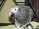 Dax - Timneh African Grey