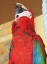 SOBE - Greenwing Macaw