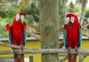 Scarlet (left) and Green-Winged (right) Macaws