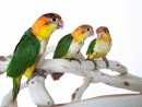 Three White Bellied Caique Babies